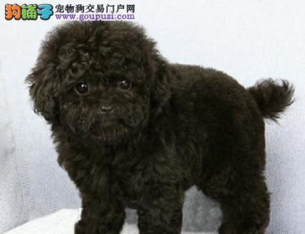 北京精品灰色白色棕色泰迪熊 体型小无体臭适合家庭养2