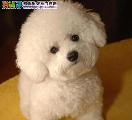 热销优秀粉扑型卷毛型宁波比熊犬 可办理血统纯度证书