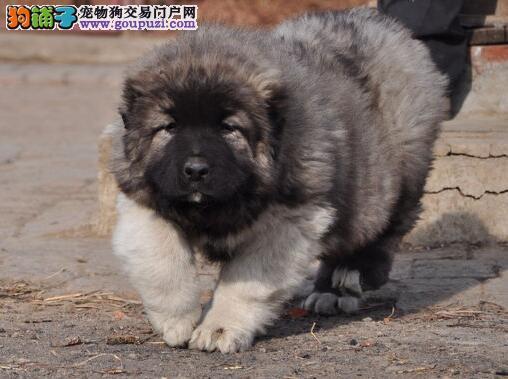 关于高加索犬被毛的养护细则介绍