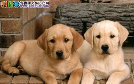 可爱俏皮花容月貌的拉布拉多犬热卖中 南昌市内送货