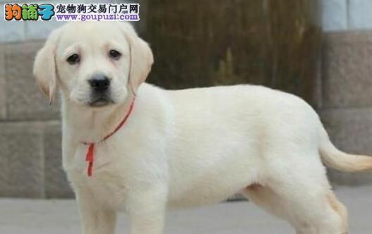 大骨架双血统拉布拉多出售 拉布拉多幼犬 颜色齐全