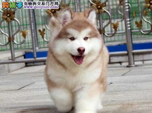 超高品质的十字脸青岛阿拉斯加犬找新主人 请放心选购