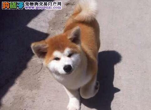 日系血统毛色纯正的南昌秋田犬找新家 速来选购吧