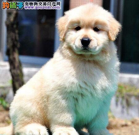 公母均有的济南金毛犬找新主人 我们承诺售后三包协议