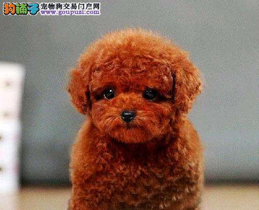 直销出售韩系血统泰迪犬 欢迎来武汉犬舍实地考察1