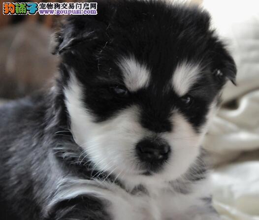 正规基地热卖高品质兰州阿拉斯加雪橇犬签合同4
