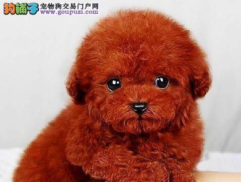 直销出售韩系血统泰迪犬 欢迎来武汉犬舍实地考察2