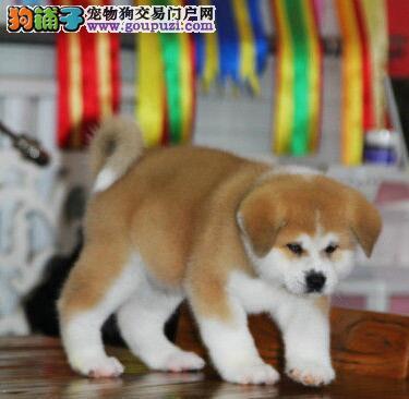 顶级优秀狗场热销秋田犬 来广州犬舍购买可享受优惠