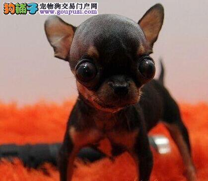 活泼可爱的玩赏犬纯种吉娃宝宝 震撼登场--终身保障