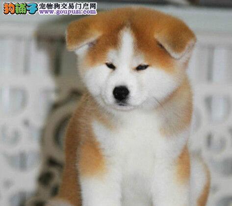 西宁市出售秋田犬 公母都有 疫苗齐全 多窝可选 纯种
