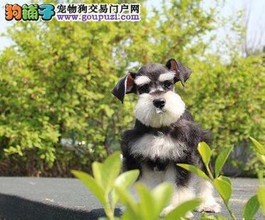 广州纯种雪纳瑞犬出售 疫苗驱虫已做小雪包品质健康