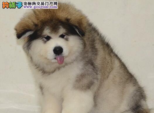 双十字阿拉斯加雪橇犬宁波狗场热销 欢迎上门购买