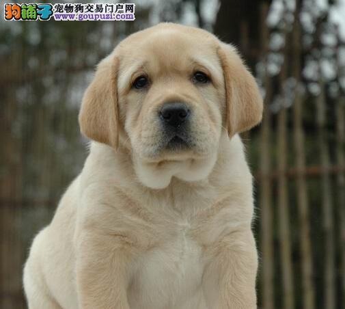 纯种拉布拉多幼犬出售 保纯种 健康