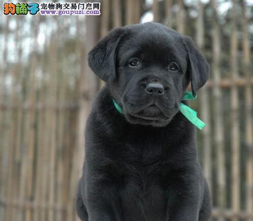 家养纯种拉布拉多出售,狗爸爸是阿诺克拉克的直孙