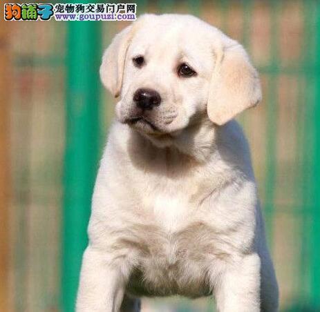 宁波特价直销小七 拉布拉多幼犬包活保纯签协议保障
