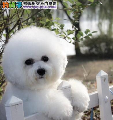 专业狗场特价转让卷毛兰州比熊犬 品质绝对优秀