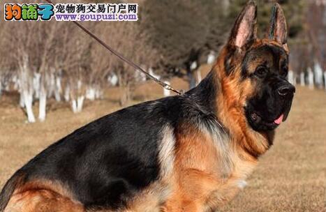 CSV权威犬业出售顶级德牧幼犬健康品质有保障品相极