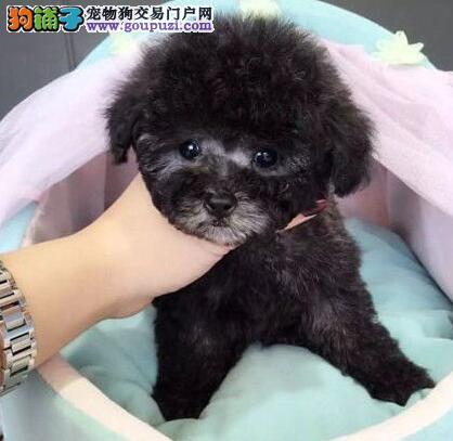 毛量大苹果脸的太原泰迪犬找新爸爸妈妈 可视频看狗4