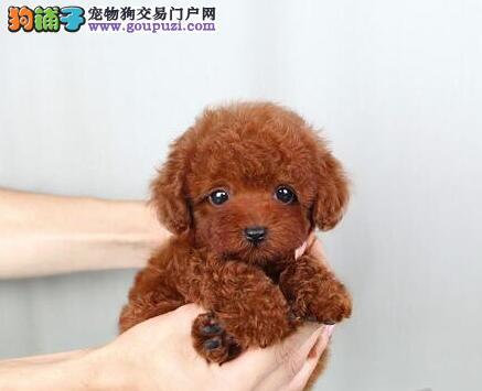 出售高品质贵宾犬 品质第一价位最低 可送货上门