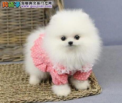十分可爱萌萌哒的佛山博美犬热卖中 保证健康纯种