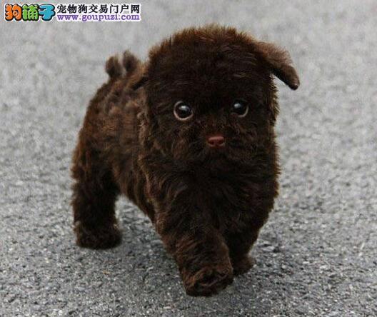 毛量大苹果脸的太原泰迪犬找新爸爸妈妈 可视频看狗3