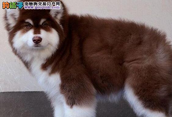 赤峰巨型熊版顶级高品质阿拉斯加犬颜色齐全 温顺帅气