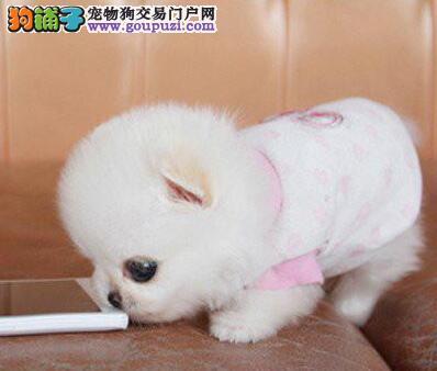 广州哈多利小体博美幼犬3个月待售,犬瘟细小保半年。