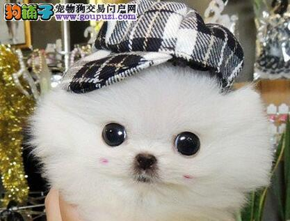 盘锦市犬舍直销极品博美犬漂亮可爱惊爆价转让博美幼犬