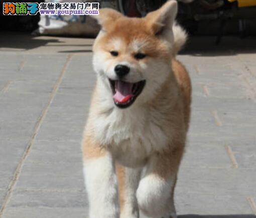 热销赛级品质秋田犬北京地区购买有礼品图片