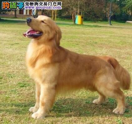 宜昌顶级土豪金金毛幼犬正在促销 品质好包养活