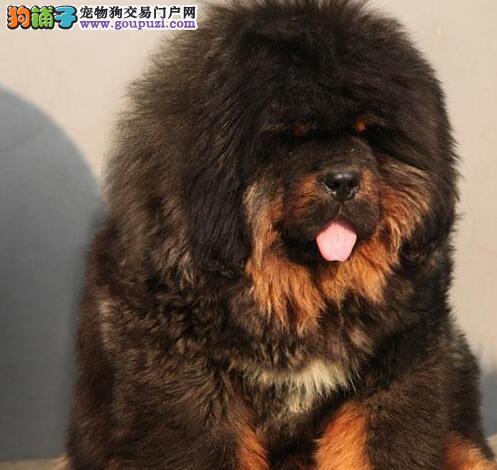 专业繁殖出售纯种大狮头藏獒幼犬