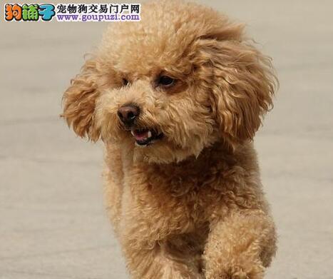 上海纯种玩具型贵宾犬 白色黑色咖色颜色齐全