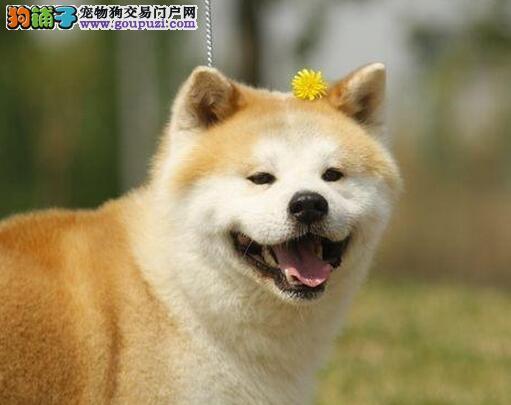 秋田犬 做好了疫苗 纯种健康欢迎上门挑选
