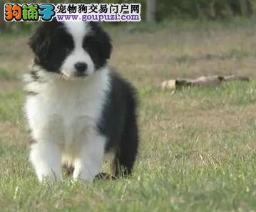 热销高品质七白到位长春边境牧羊犬 可办理血统证书