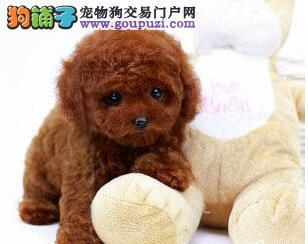 精品韩系泰迪犬长春犬舍直销 身体健康和血统有保证
