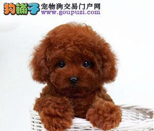 精品韩系泰迪犬长春犬舍直销 身体健康和血统有保证2