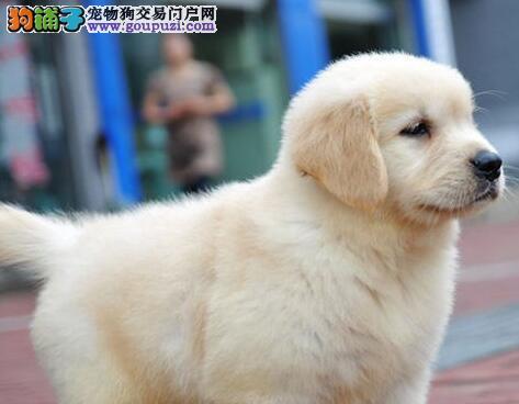 金锐部队顶级血统 金毛寻回犬狗狗 出售