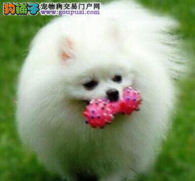天津博美幼犬 微信视频送狗上门 终身质保签协议