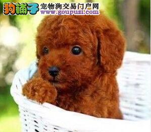 养殖场热销茶杯体郑州贵宾犬包养活品质保证