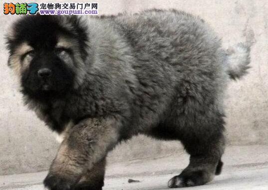 俄系血统大骨量高加索犬 凶猛忠于主人延安出售