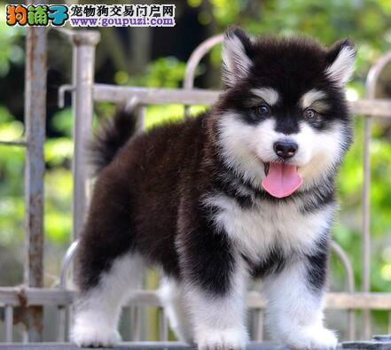 繁育基地直销南京阿拉斯加雪橇犬售后有保障