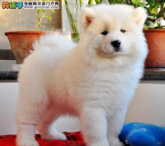 赛级后代纯白色熊版萨摩 欢迎杭州参观选购2