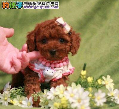南京自家繁殖超小体贵宾犬多个品种可预订