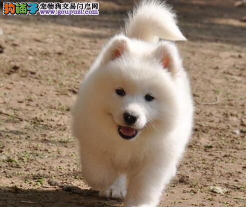 赛级后代纯白色熊版萨摩 欢迎杭州参观选购3