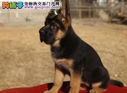 北京售纯种德系德国牧羊犬幼犬多只选品相好身体健壮