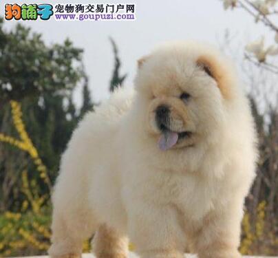 上海自家狗场繁殖直销松狮幼犬真实照片视频挑选