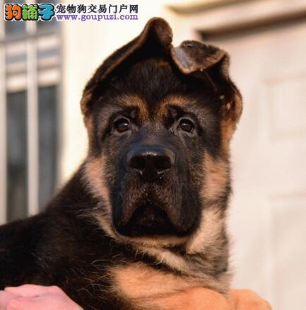 保定正规狗场繁殖出售纯血统的德国牧羊幼犬 公母均有
