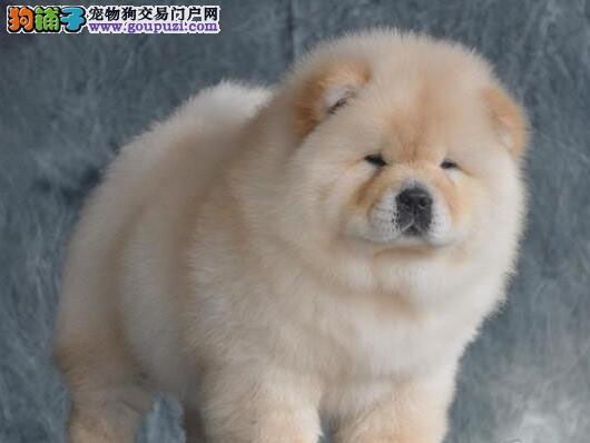 胖呼呼十分可爱的松狮犬求好心人士选购 南昌免费送货2