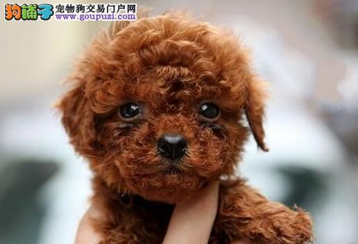 韩国引进萌系佛山泰迪犬出售 随时电话咨询服务24小时1