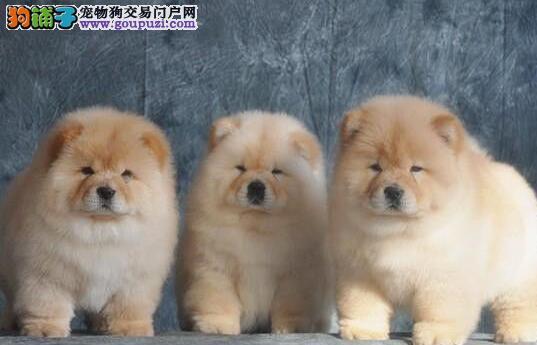 胖呼呼十分可爱的松狮犬求好心人士选购 南昌免费送货3